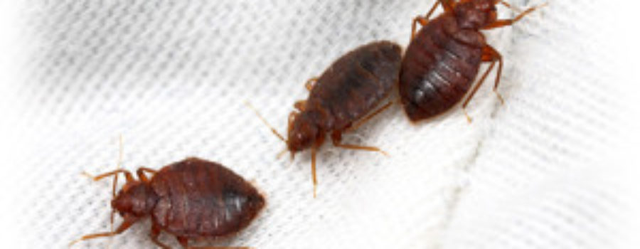Bed Bugs – A Non-Toxic Remedy